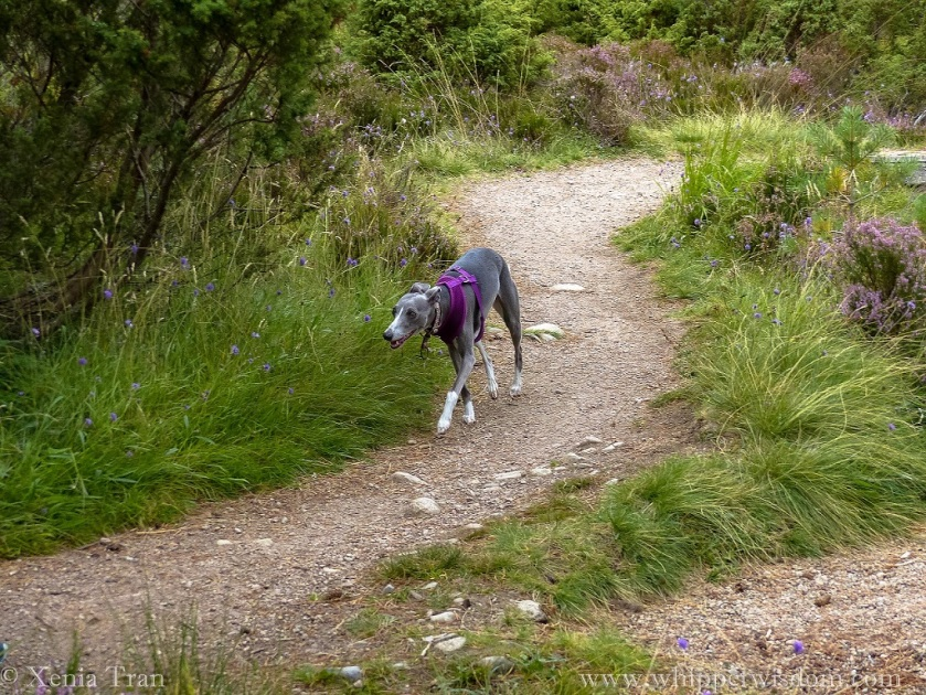 blue whippet in purple harness walking along path flanked by purple wild flowers