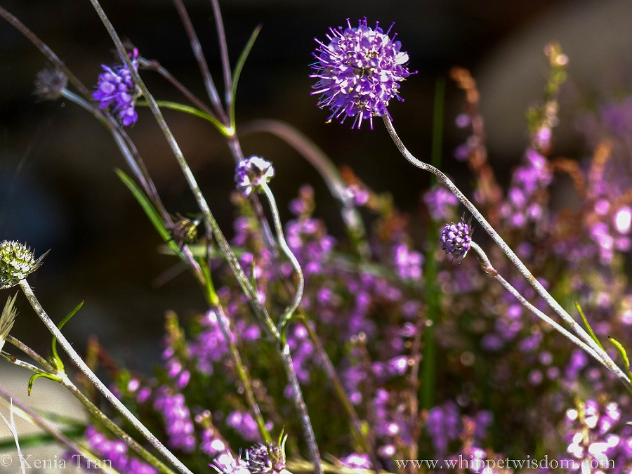 close up shot of scabiosa flower with purple heather in the background