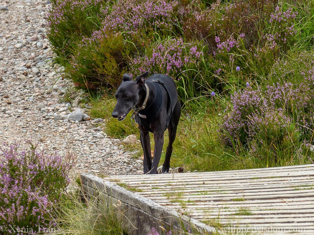 black whippet in a black harness beside a wooden bridge and heather in bloom