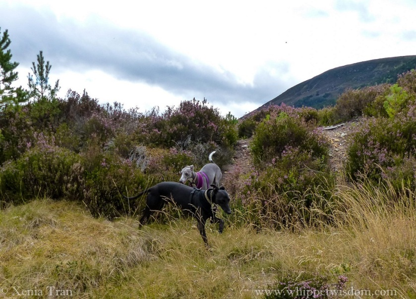two whippets playing among heather in the mountains