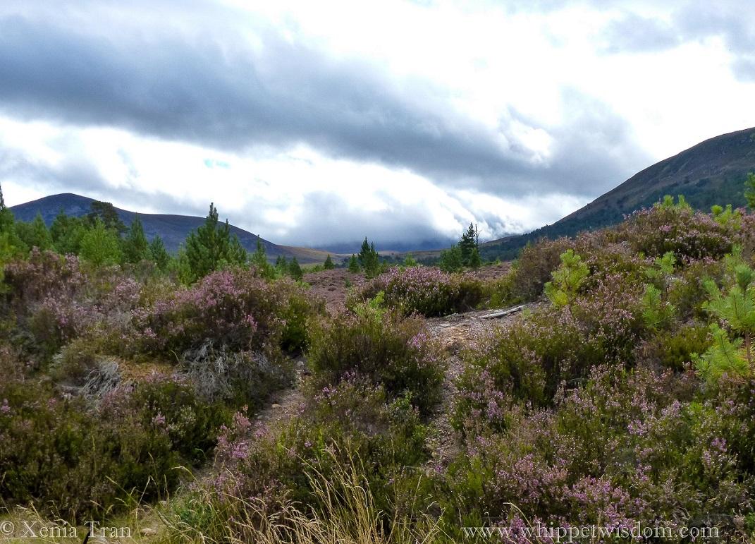 Gleann Einich clad in purple heather