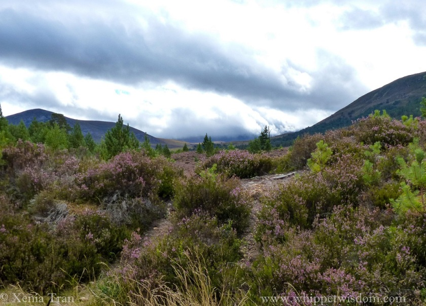 Gleann Einich clad in purple heather