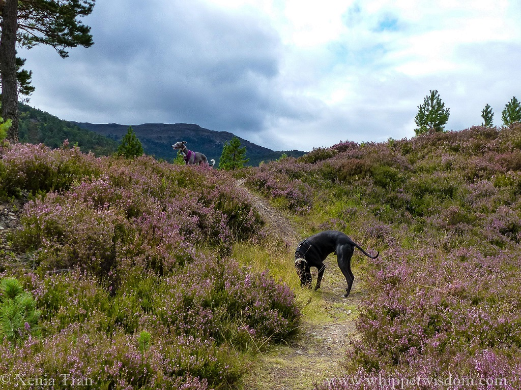 two whippets on a mountain trail with abundant heather in bloom