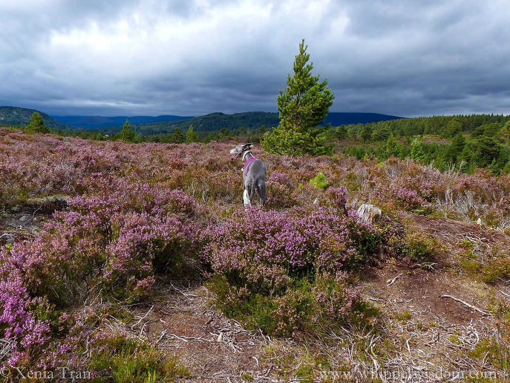 blue whippet in purple harness on top of a hill surrounded by blooming heather