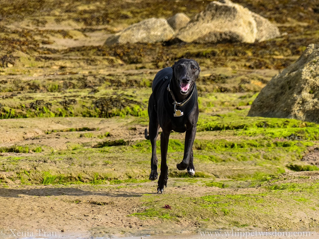smiling black whippet running towards the camera at low tide
