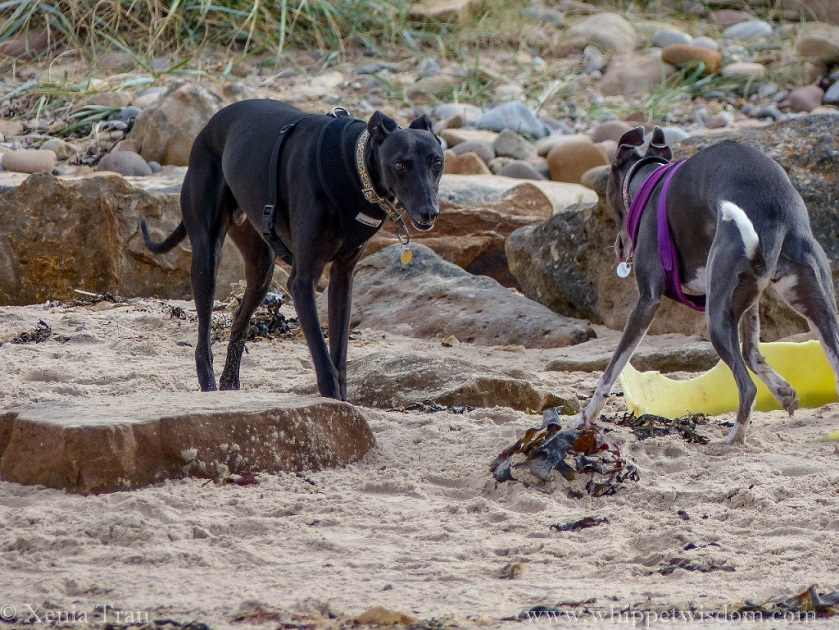 two whippets on the beach walking between large stones and seaweed