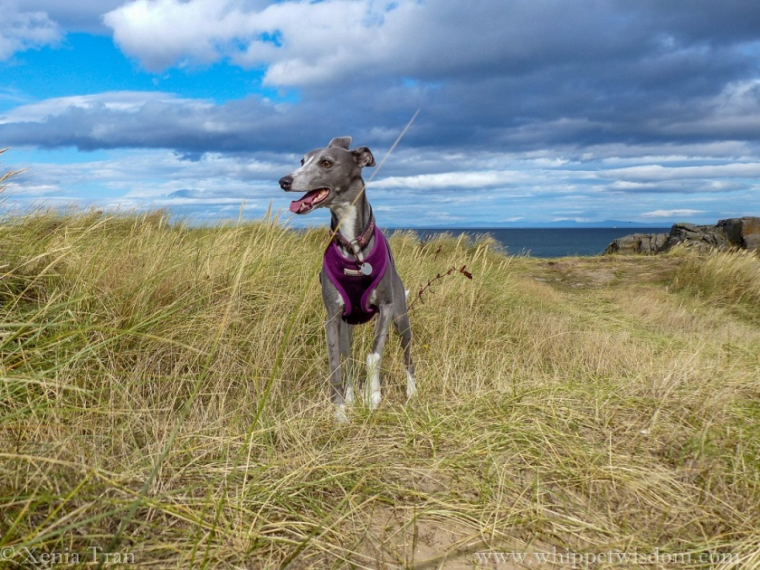 blue whippet in a purple harness on grass-covered cliff top