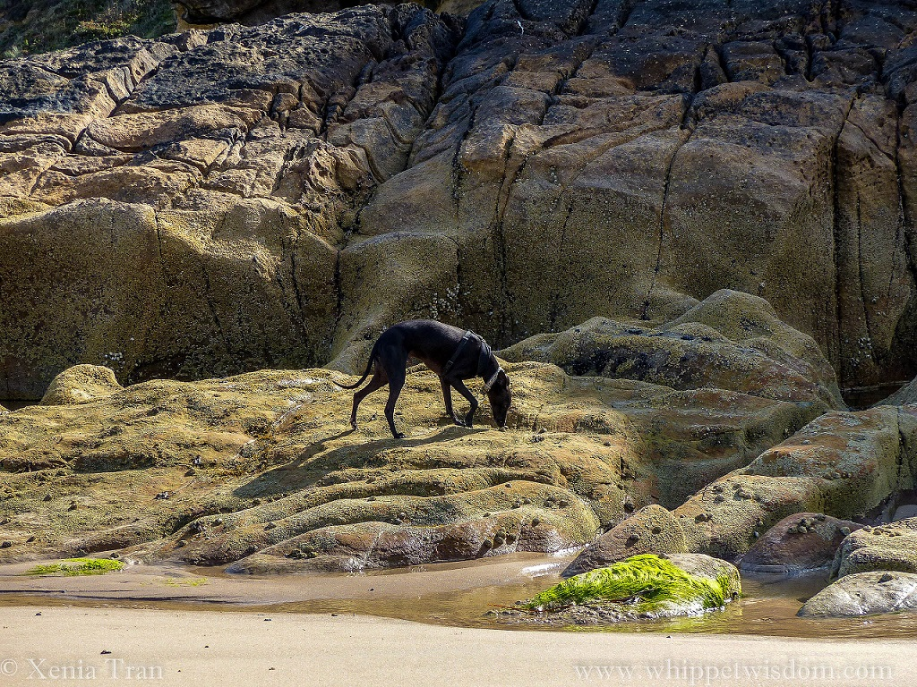 black whippet in a black harness walking on rocks and sniffing the seaweed at low tide