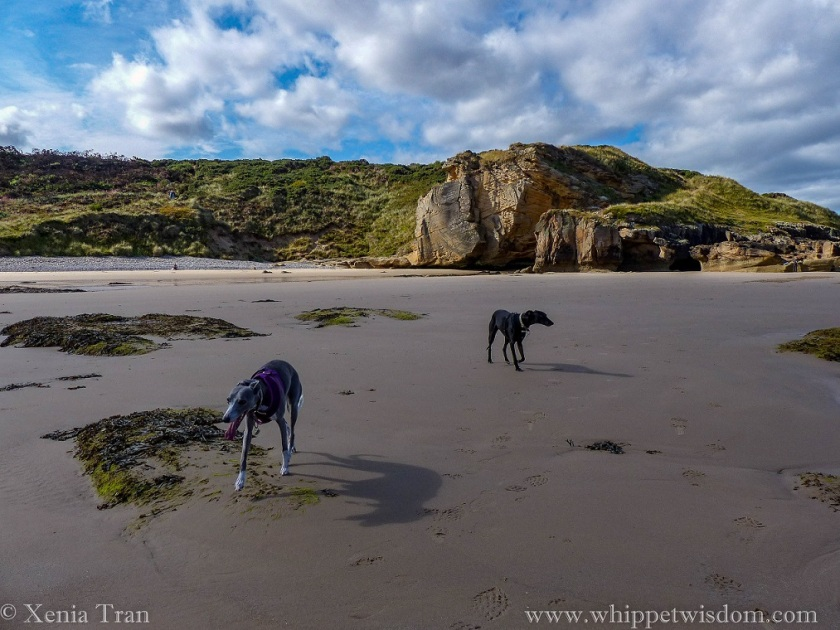 two whippets on tidal sands beside cliffs and caves