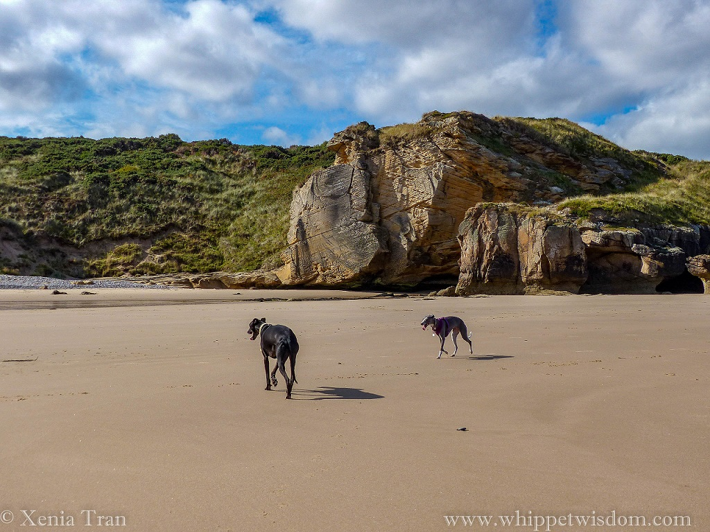 two whippets on tidal sands at Cove Bay