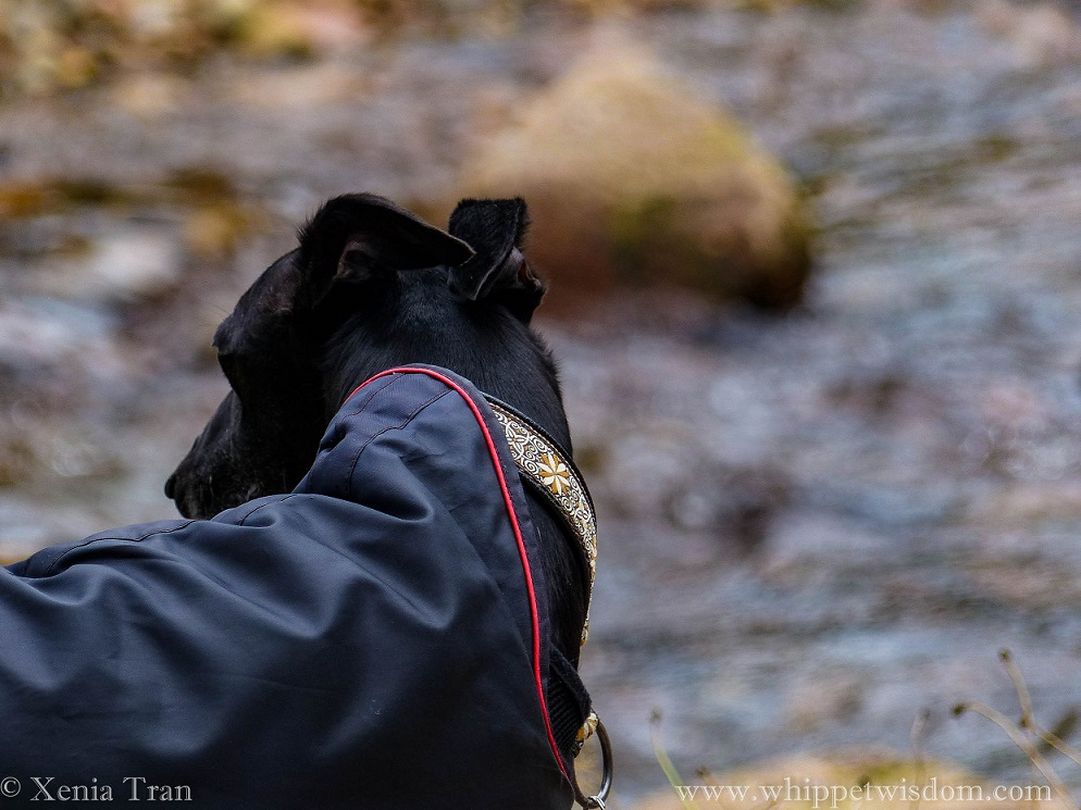a black whippet in a black coat looking down on the flowing burn