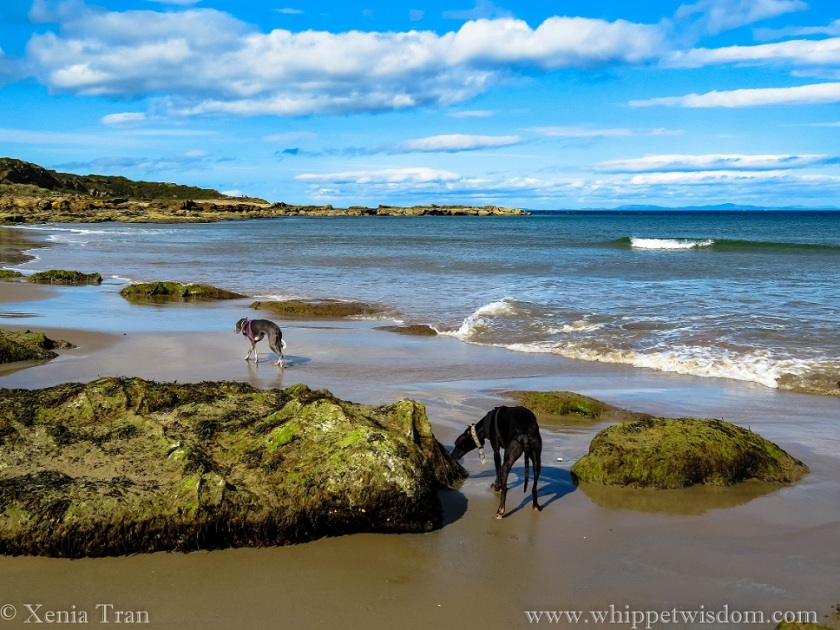 two whippets walking between seaweed-covered rocks at low tide