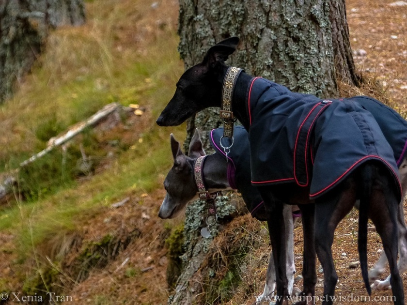 two whippets in black jackets and decorative collars looking down from a climbing forest trail