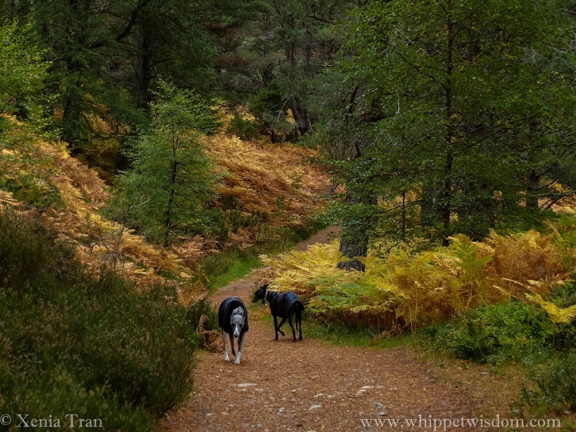 two whippets in winter jackets on forest trail with golden ferns