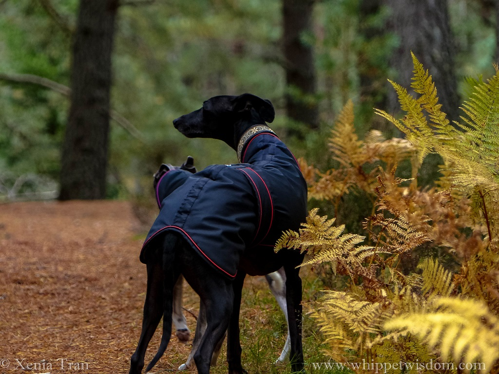 two whippets in black coats on a forest trail with golden ferns