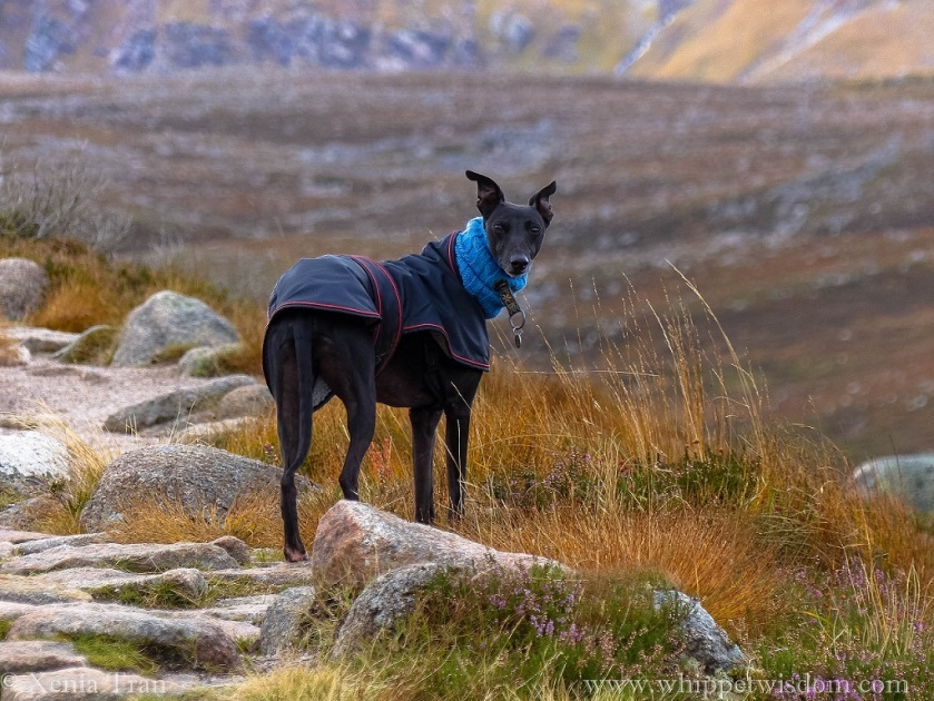 a black whippet in a winter jacket on a mountain trail looking back at the camera over his right shoulder