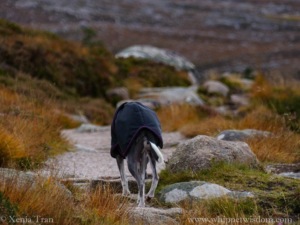 blue whippet in winter coat climbing a mountain trail, seen from behind