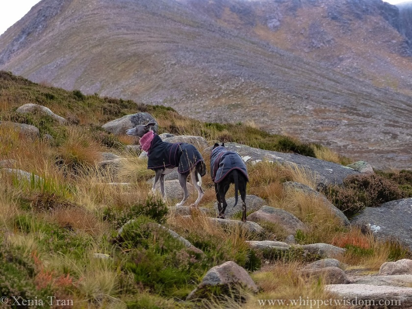 two whippets in winter jackets and snoods on a mountain trail