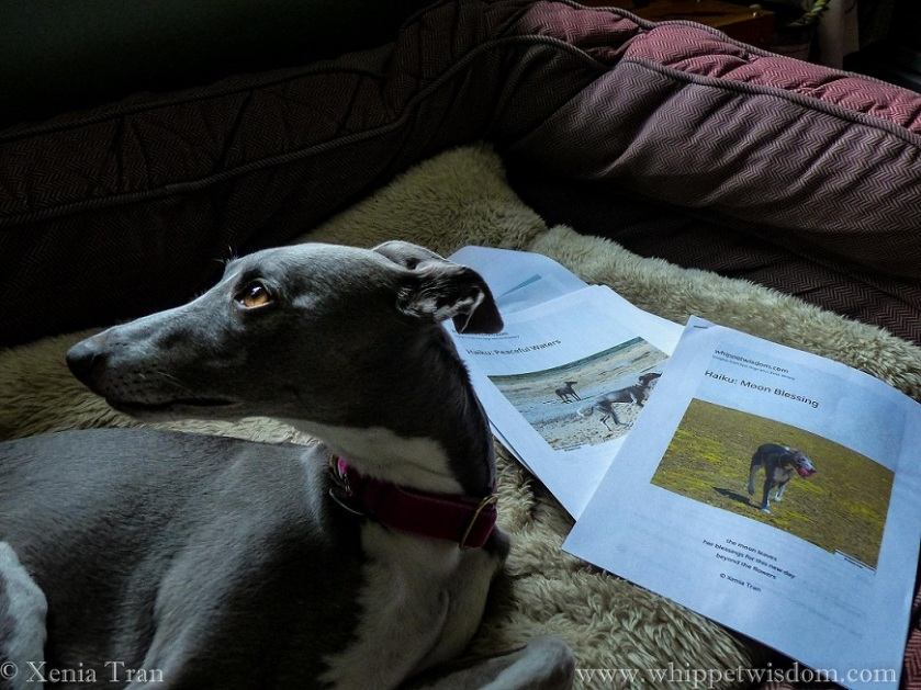 a blue whippet looking over her right shoulder, draft papers displayed beside her in her dog bed