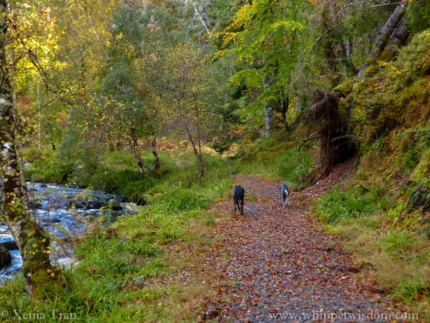 two whippets walking on a forest trail beside a flowing burn in Autumn