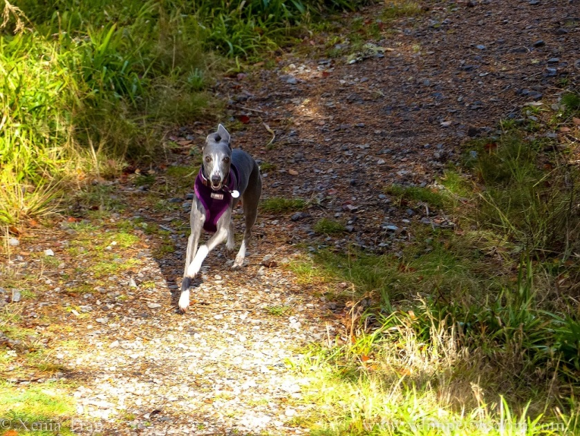 blue whippet in a purple harness sprinting down a forest trail