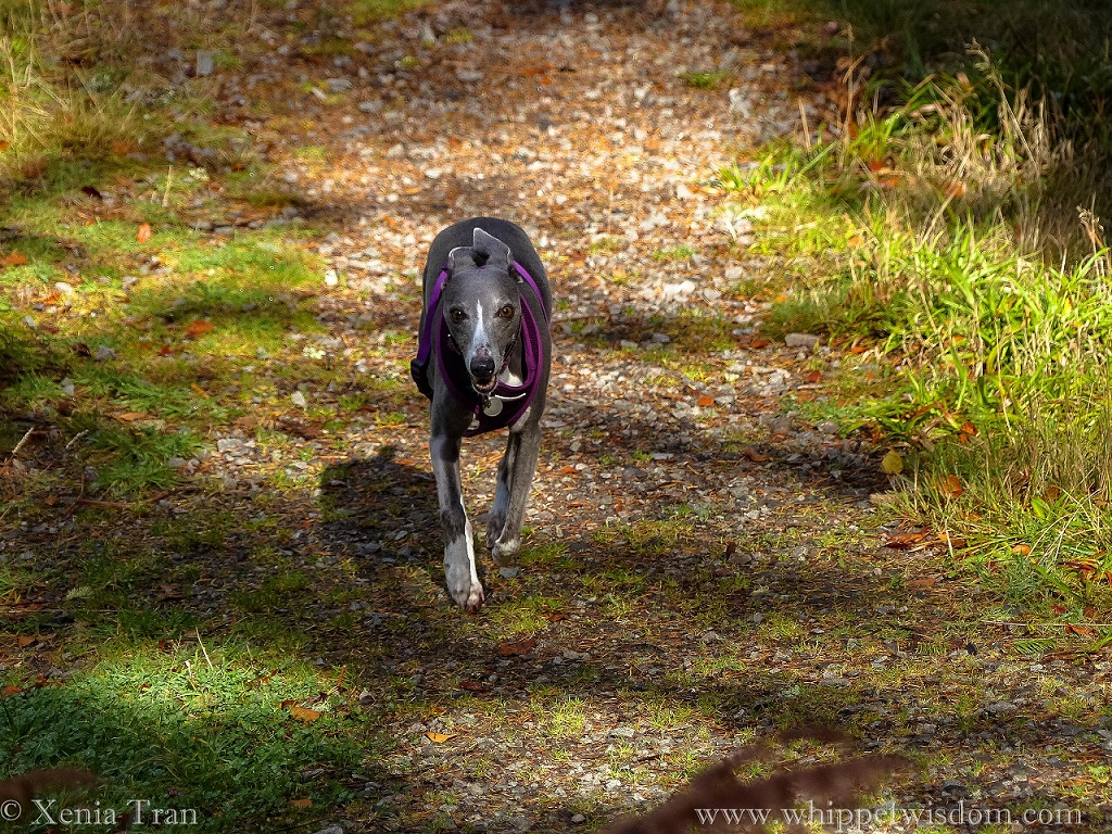 a blue whippet running towards the camera on a forest trail