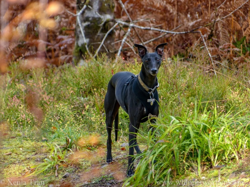 a black whippet standing in an autumnal forest, eyes and ears alert