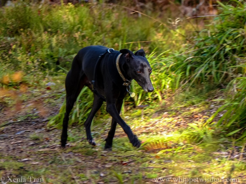 a black whippet striding through a forest in dappled light