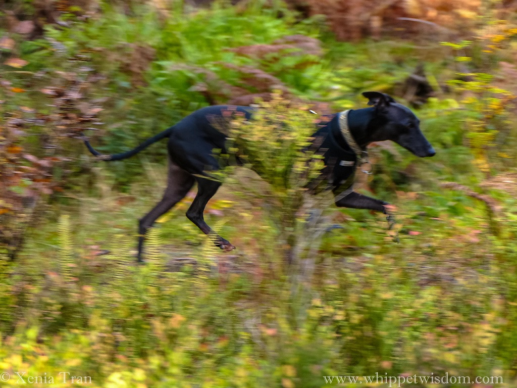 action shot of a black whippet running through the wood in Autumn colours