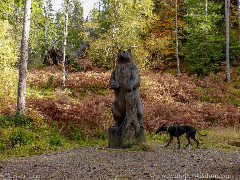a black whippet approaching a large wooden bear sculpture in the Autumn forest at Raven's Rock Gorge