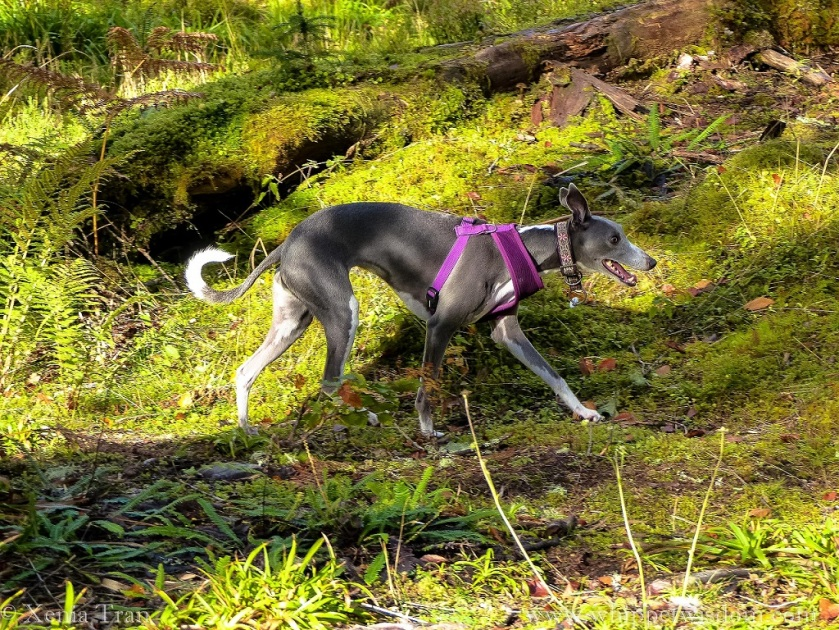 a smiling blue whippet in a purple harness striding through the forest