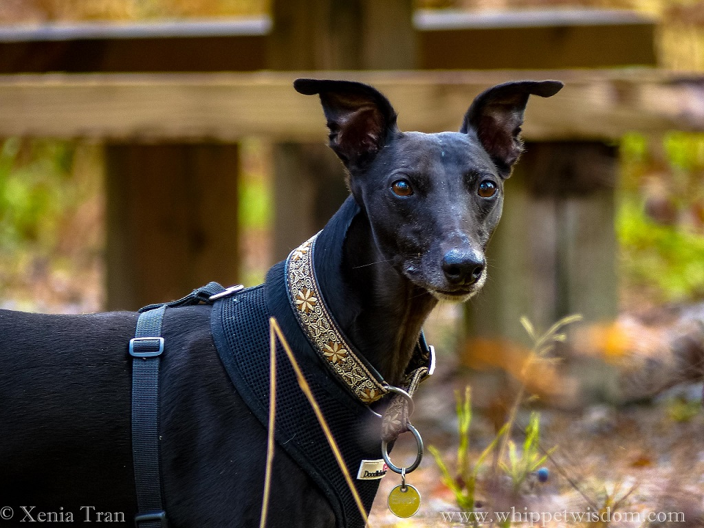 close up shot of black whippet in black harness and brown and white collar in autumn forest