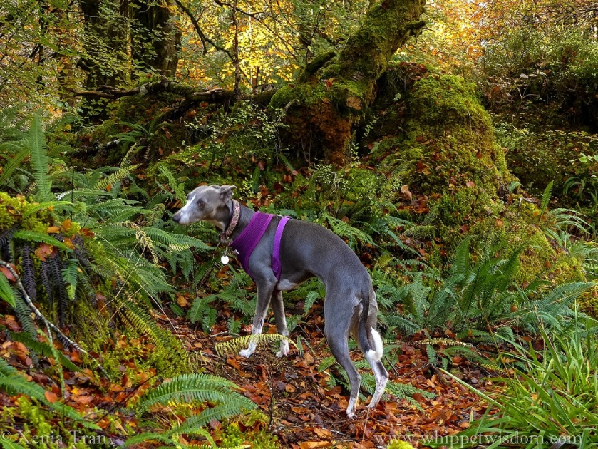 a blue whippet in a purple harness and a pink and black collar standing on a forest trail