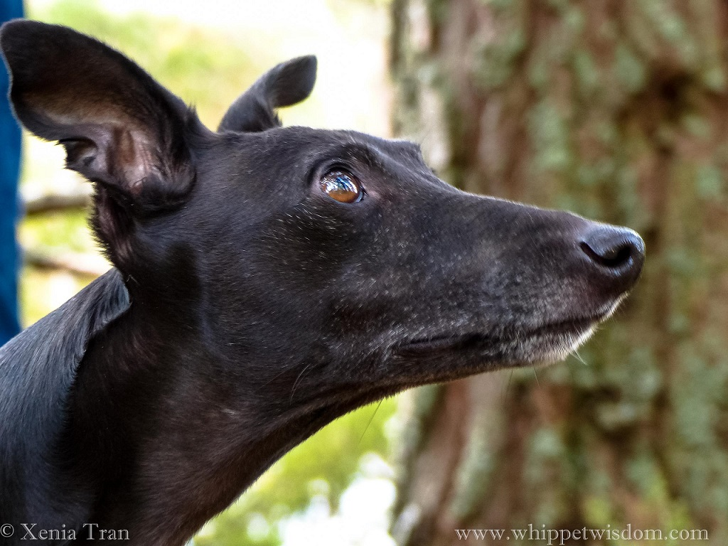 close up of a black whippet looking up at an ancient pine tree
