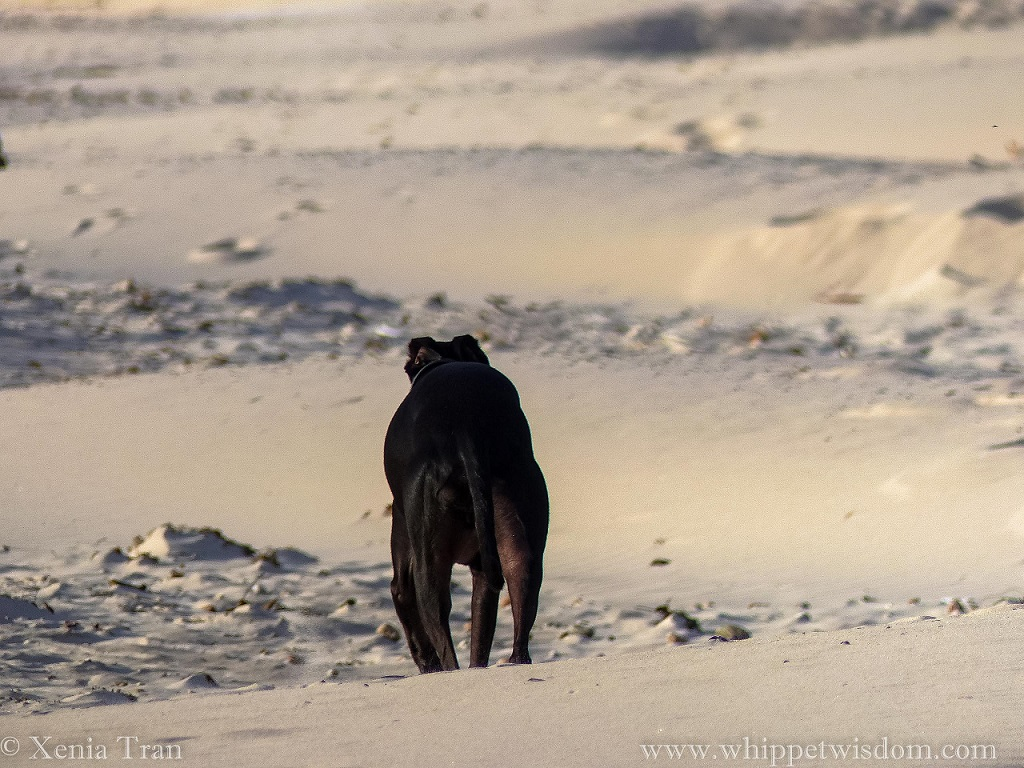 rear view of a black whippet on a beach transformed by the wind
