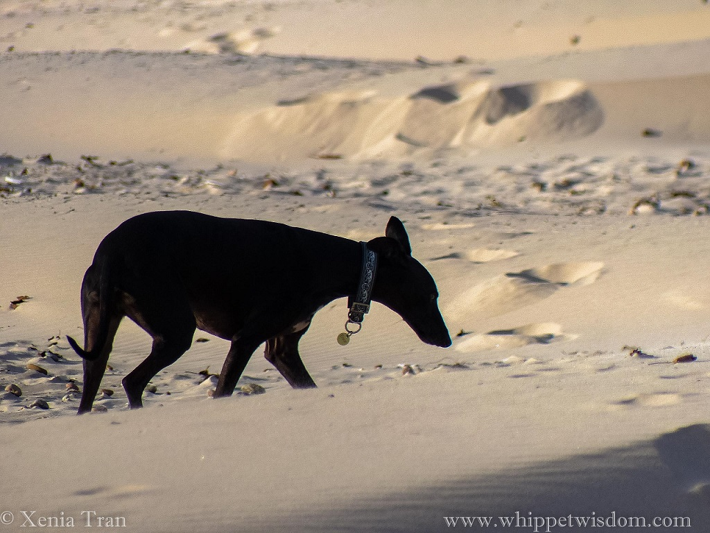 side view of a black whippet walking through newly formed dunes