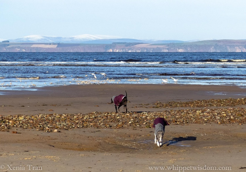 two whippets in winter jackets on the tidal sands with snow on the peaks across the Moray Firth