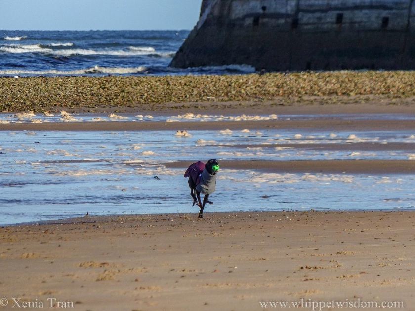 a black whippet in a winter jacket running on the tidal sands with a green ball