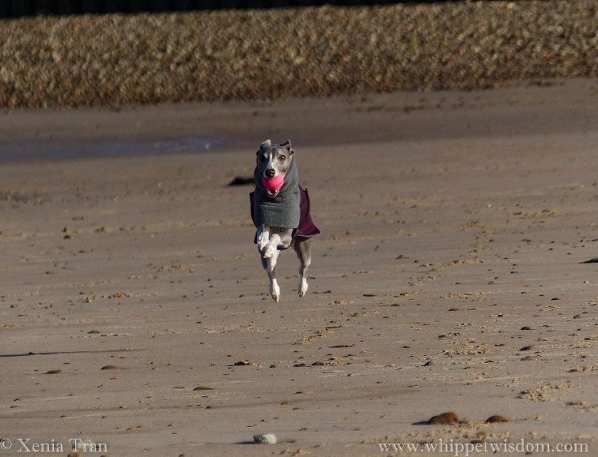 a blue whippet in a winter jacket flying across the beach with a pink ball