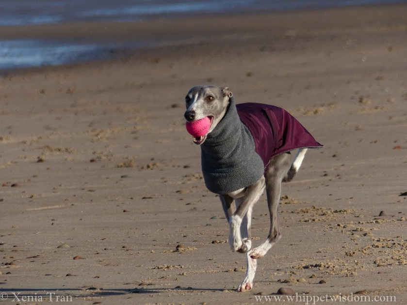 blue whippet in winter jacket running on the beach with a pink ball