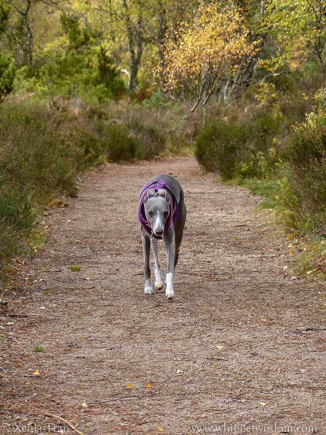a blue whippet in a purple harness walking on a forest trail in autumn colours