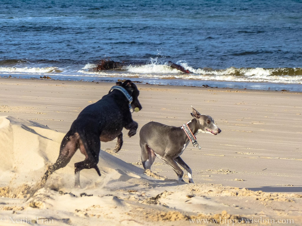a black whippet leaping from the dunes onto the beach beside a running blue whippet