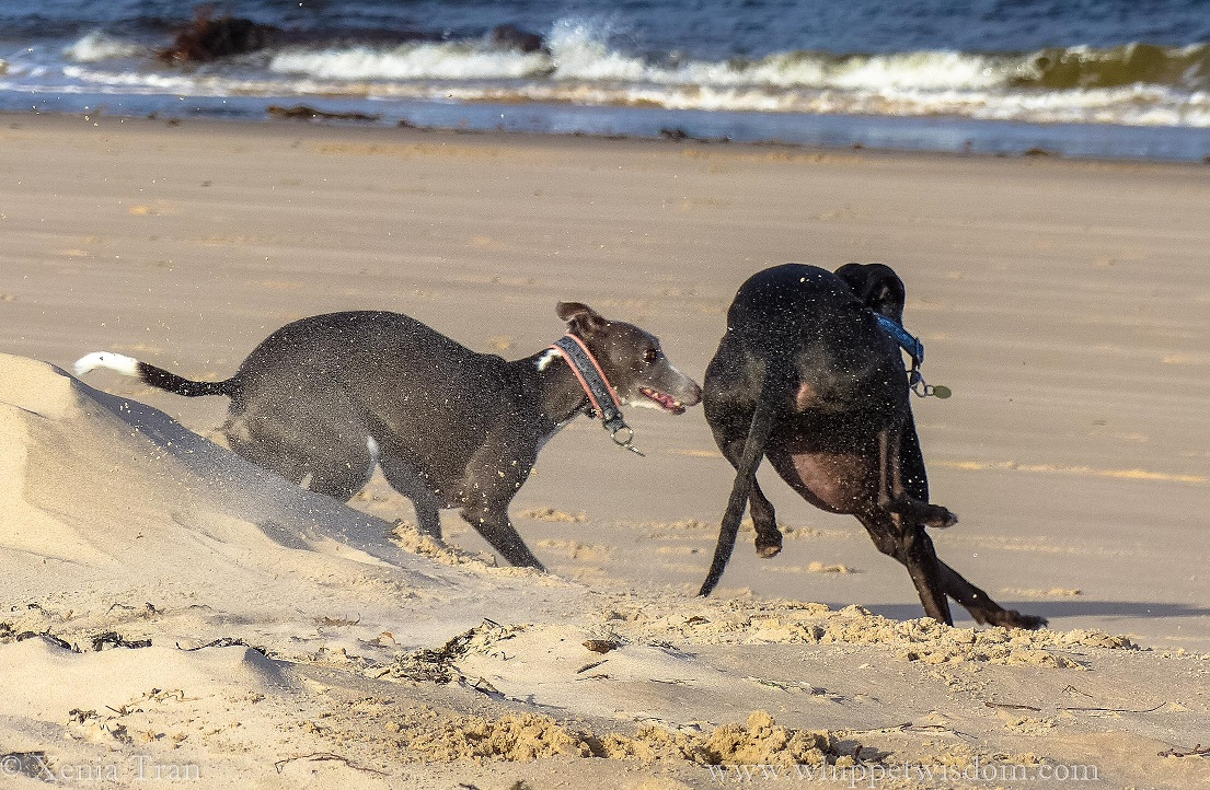 a blue whippet chasing a leaping black whippet on the beach