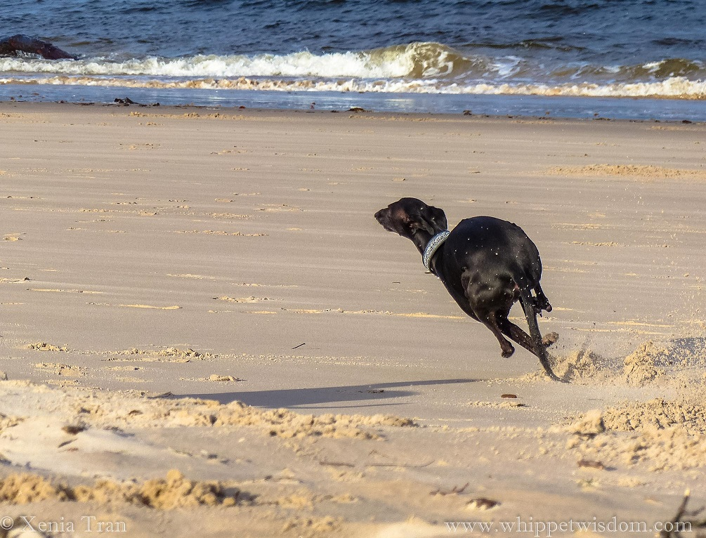 a black whippet zooming on the beach with three legs in the air