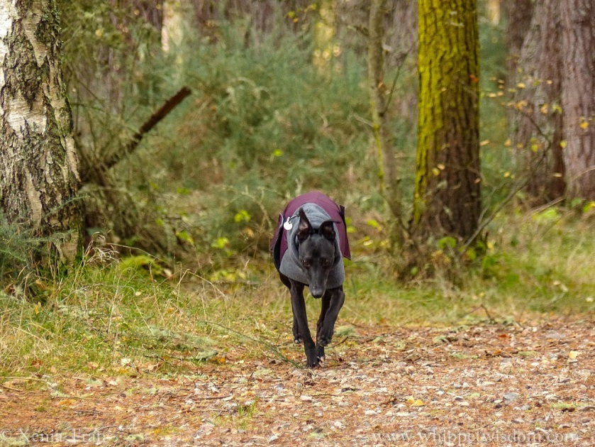black whippet in a winter jacket walking towards the camera on a forest trail covered in autumn leaves
