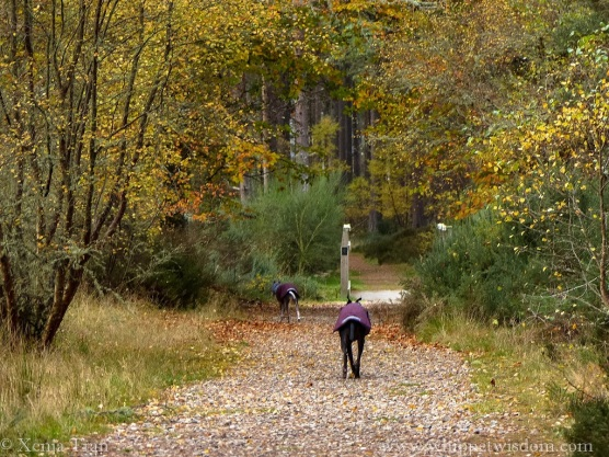 two whippets in winter jackets walking up a forest trail in autumn colours