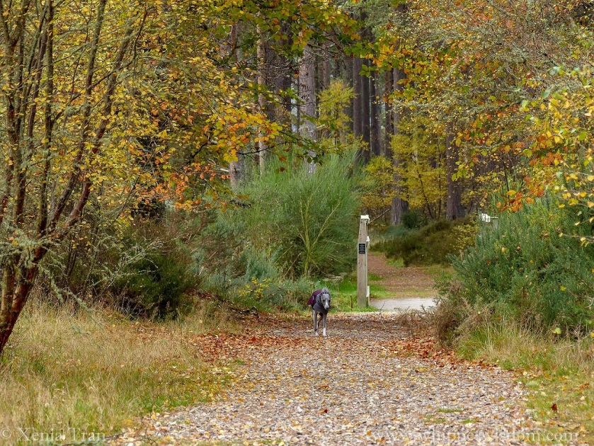 a blue whippet in a winter jacket running on a forest trail with gold and yellow autumn leaves