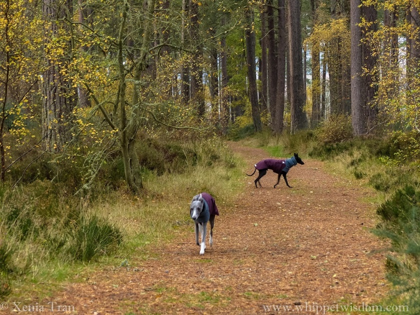 two whippets in winter jackets on a forest trail with pine trees and golden birch