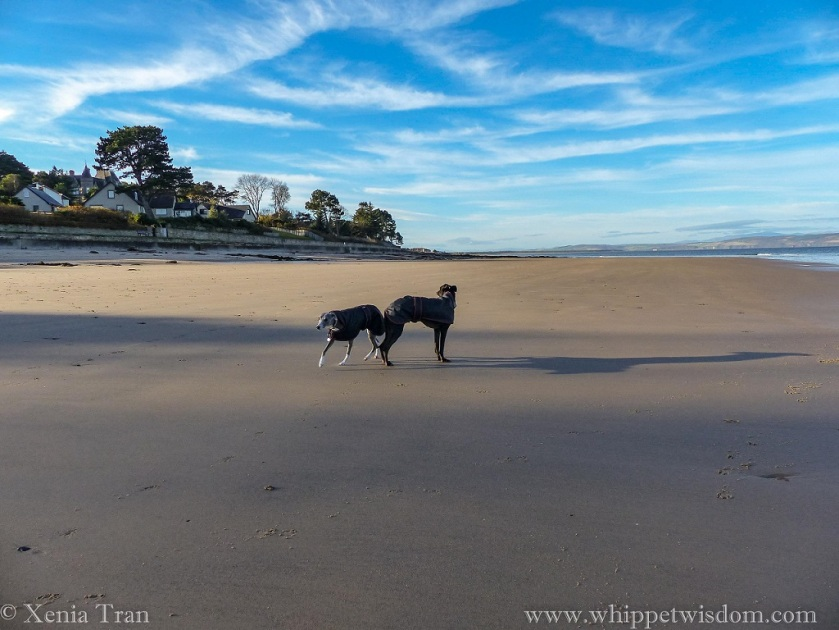 two whippets in black winter jackets on a tidal beach under a cerulean sky