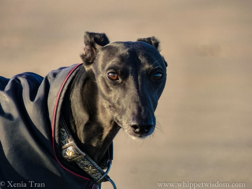close up portrait of a black whippet in a black winter jacket and brown and white collar